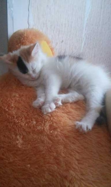 Отдам даром: Отдам сибирского котенка