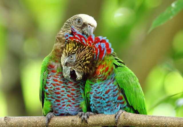 Продам Веерный попугай