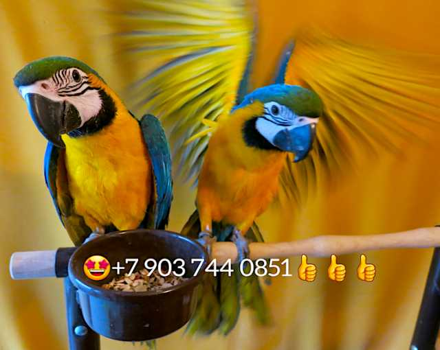 Продам Сине желтый ара птенцы из питомников