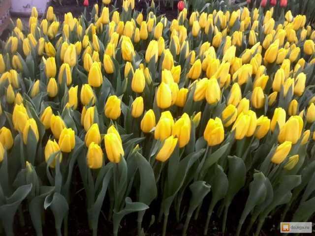 Продам: Тюльпаны оптом Красноярск, Новосибирск