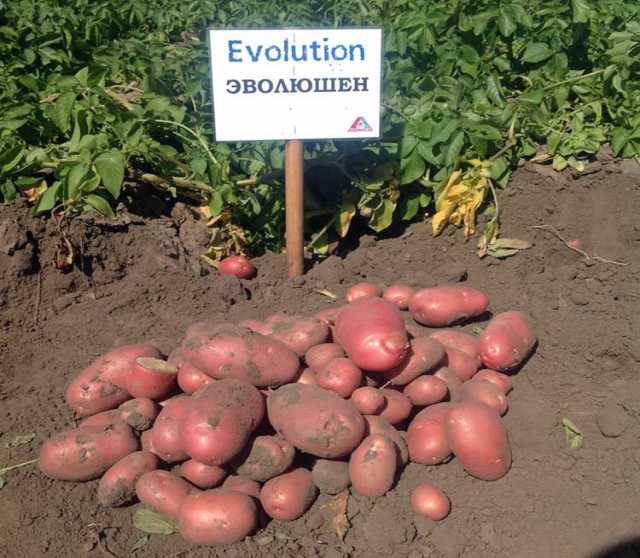 Продам: Семенной картофель Эволюшн