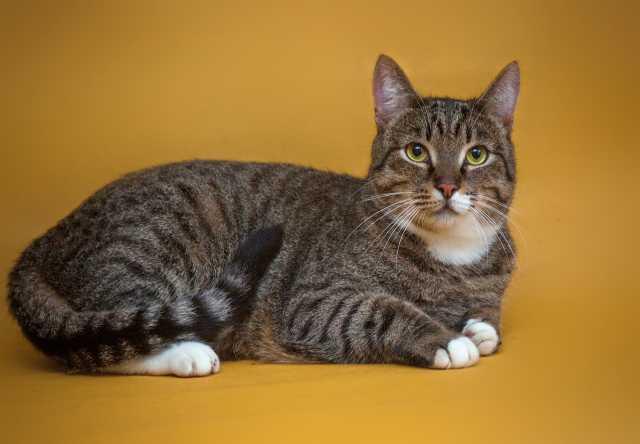 Продам Элегантный полосатый котик Шерлок а поис