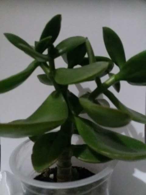 Продам: Денежное дерево (толстянка)