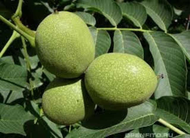 Продам: Орех маньчжурский. Посевные орехи