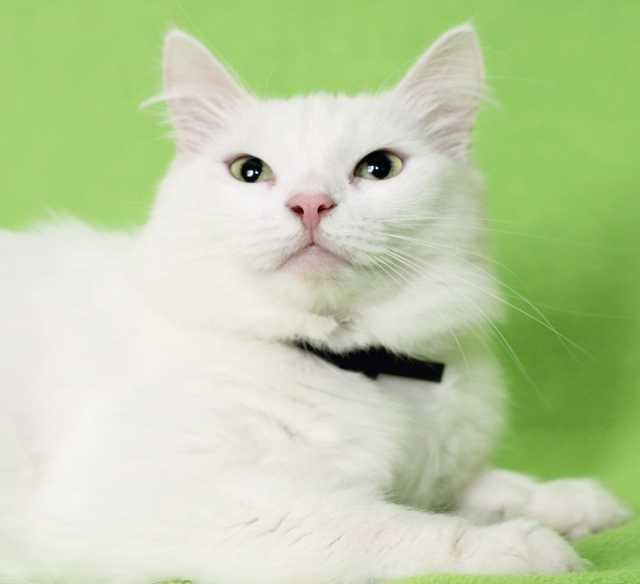 Отдам даром: Кошка Скалли. Строгая блондинка, 5 лет