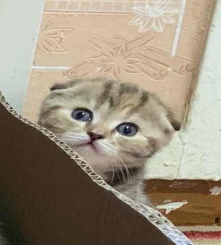 Продам Породистые котята