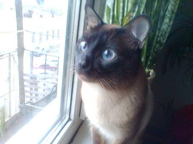 Продам: вязка с котом
