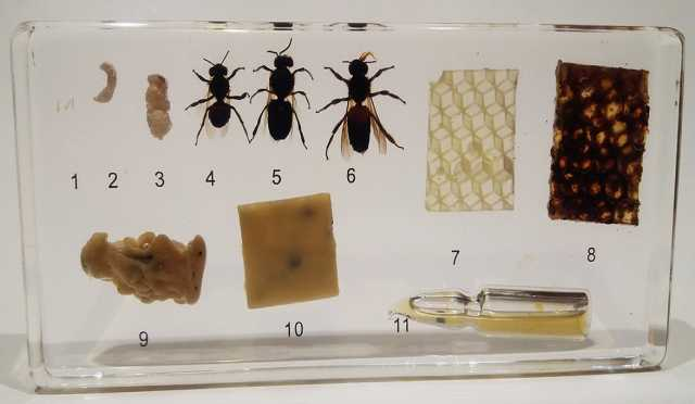 """Продам: Коллекция """"Развитие медоносной пчелы"""" (а"""