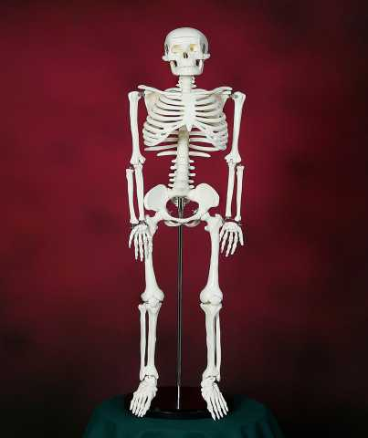 "Продам: Модель ""Скелета человека 85 см"""