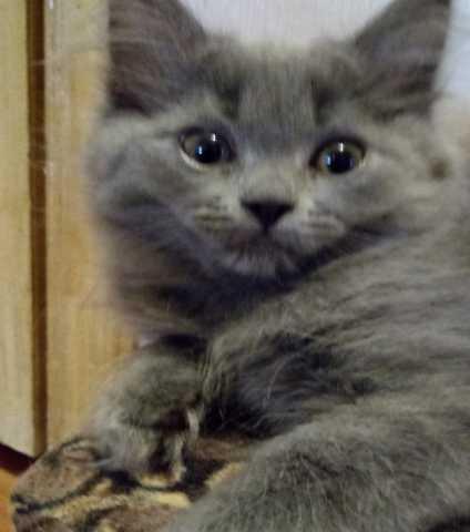 Продам Персидские котята