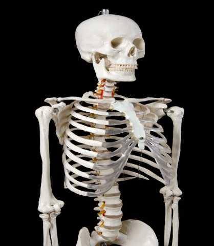 Продам: Скелет 1м 70 см (анатомический) - Новый