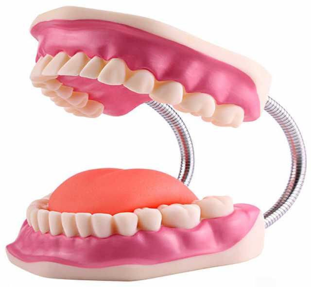 """Продам: Модель """"Гигиена зубов"""" (БЕЗ ЩЕТКИ)"""