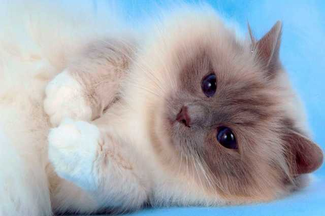 Продам: Подрощенные котята Ragdoll (кошка-кукла)