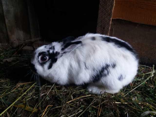 Продам кролиха