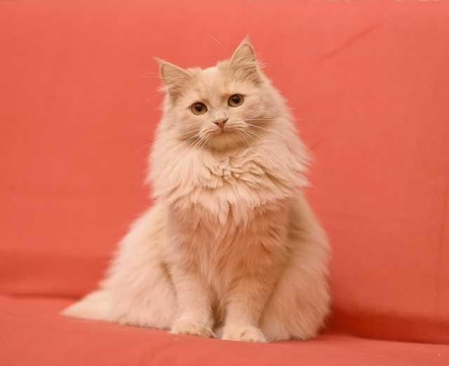 Отдам даром Пушистая кошка-белка Бася в добрые руки