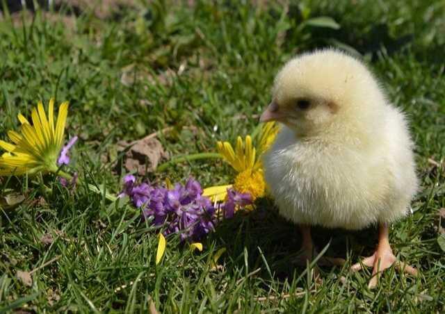 Продам: Суточные цыплята кобб500