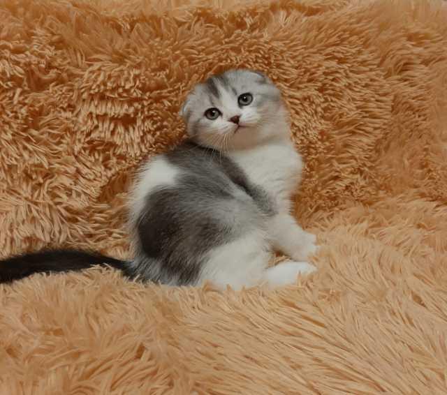 Продам Шотландский вислоухий котёнок-мальчик