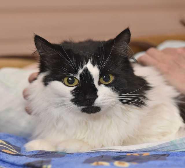 Отдам даром Шикарная кошка Коломбина ищет дом