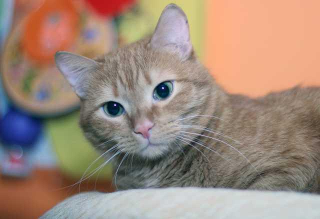 Продам Рыжий котик Честер