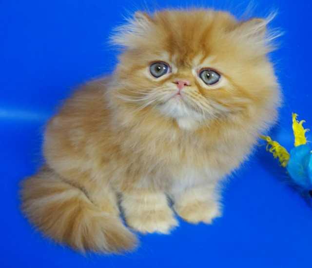 Продам Персидский котенок окрас красный мрамор