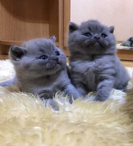 Продам чистокровные британские котята