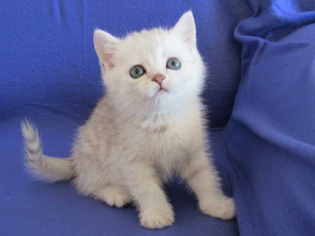 Продам Зеленоглазые котята (шиншилла)