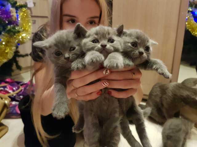 Продам Британские котята