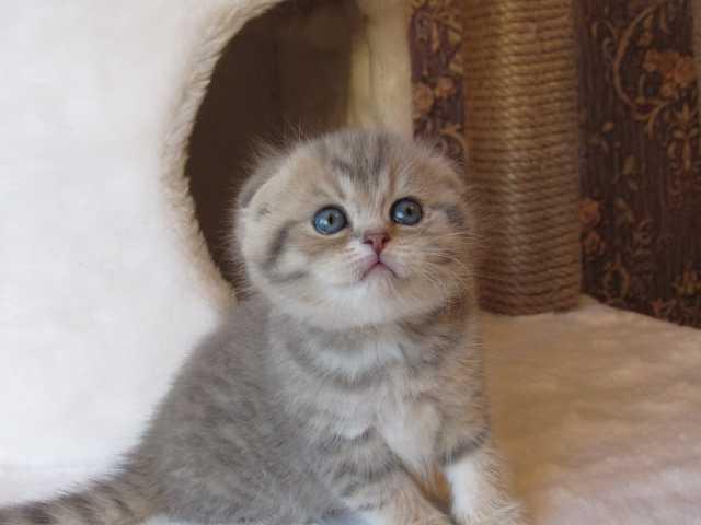 Продам: Котята с документами (золотая шиншилла)