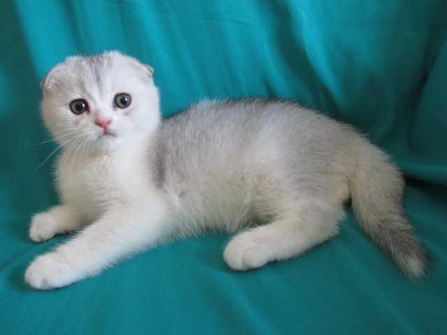 Продам: Клубные котята (серебристая шиншилла)