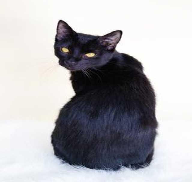 Продам Гавана-Браун Кошка