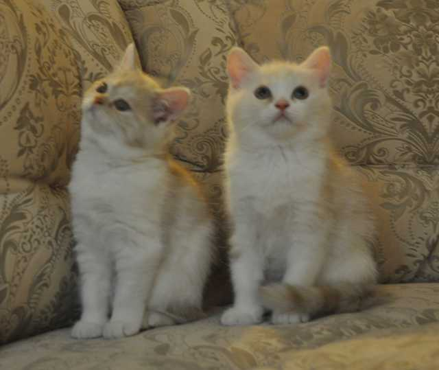 Продам Шотландские котятас родословной