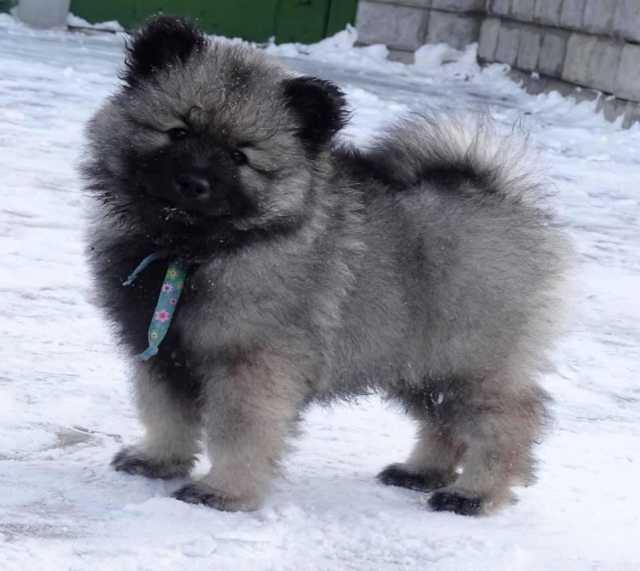 Продам Собака- улыбка Вольфшпиц из питомника