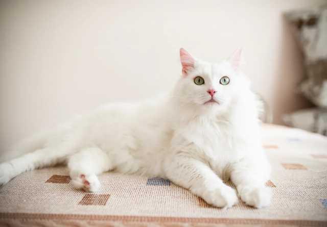 Отдам даром: Белоснежный кот в дар