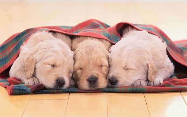 Продам Шикарные щенки Голден Ретривера(питомник