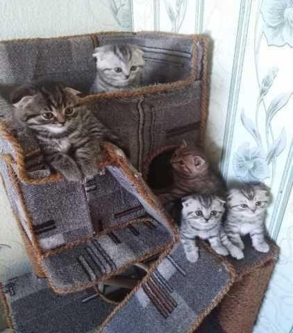 Продам: котята шотландской вислоухой