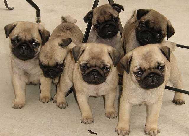 Продам Мопс щенки