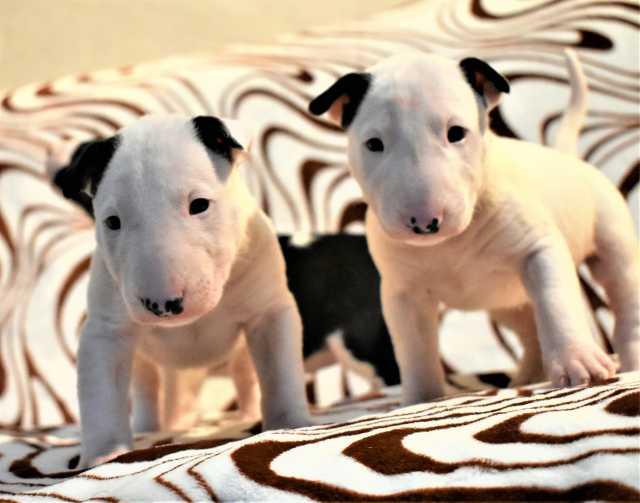 Продам щенки стандартного бультерьера