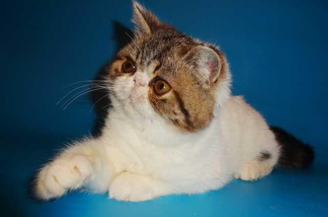 Продам: Шикарный экзот котенок, ван, питомника