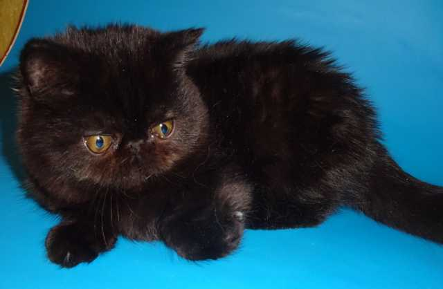 Продам Шикарный экзот котенок черный питомника