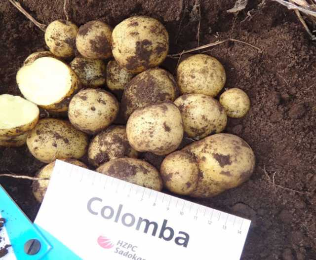 Продам Семенной картофель Коломба