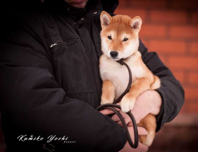 Продам щенок сиба ина