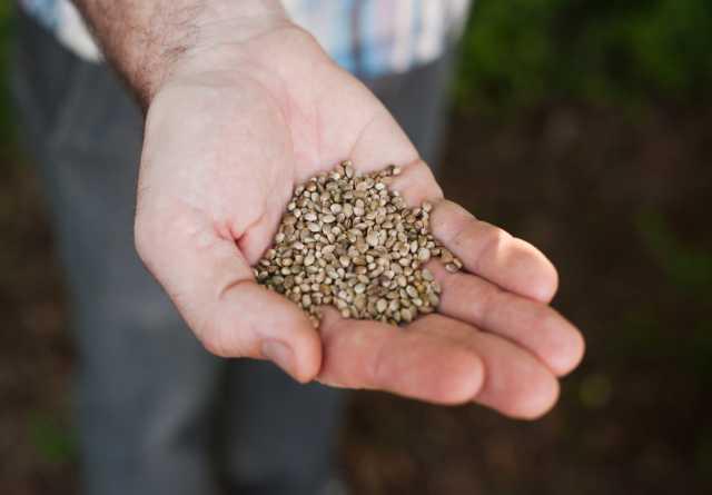 Продам Зерно конопли, пищевой для масла, жмых