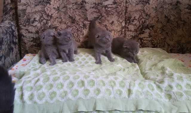 Продам: Британские вислоухие и прямоухие котята