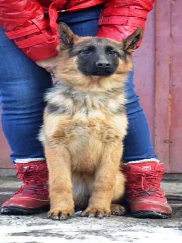 Продам Шикарн подрощен щенок, питомник