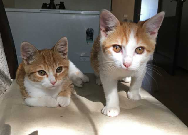 Отдам даром: Кому рыжее счастье!! котята ищут дом !!