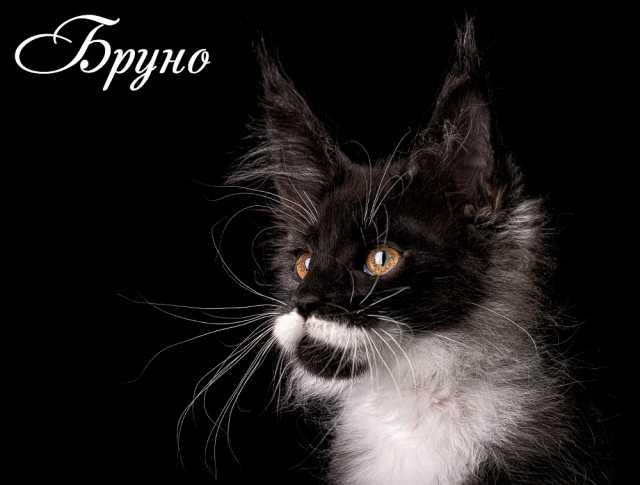 Продам Котята Мейн Кун- мощные, толстолапые