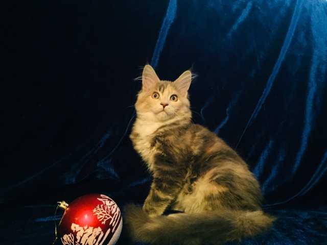 Продам: Котята мейн куны
