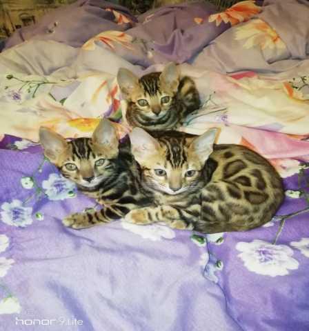 Продам: Бенгальская кошка
