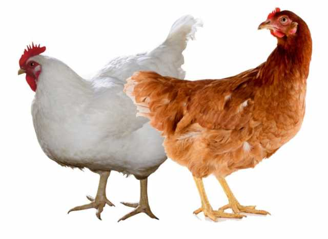 Продам Курица
