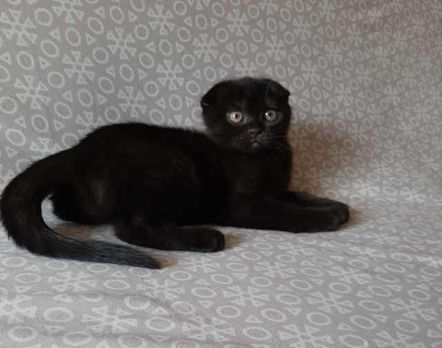 Продам Шотландский вислоухий котёнок